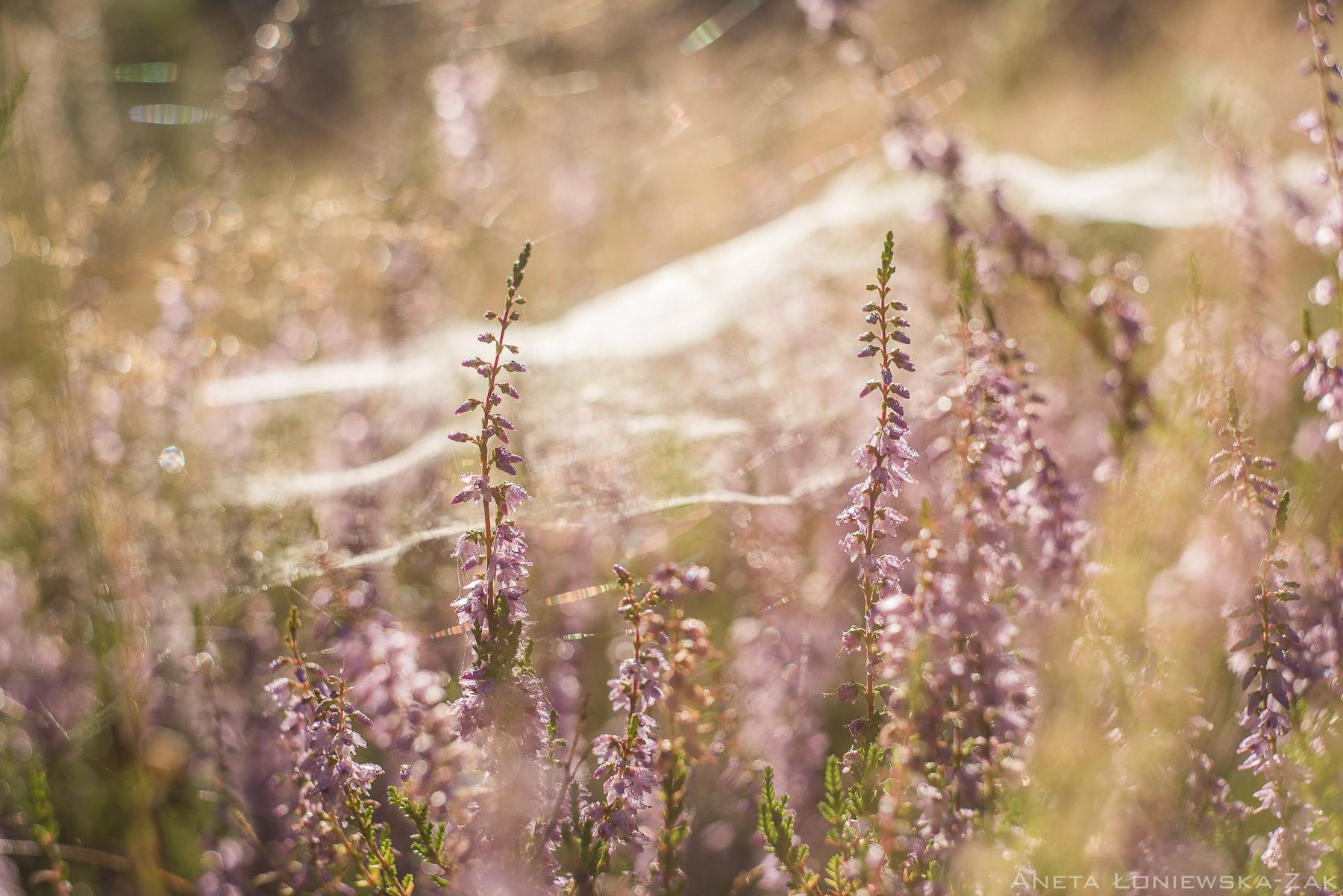 fotografia przyrodnicza, puszcza knyszyńska, podlasie, pkpk, calluna vulgaris