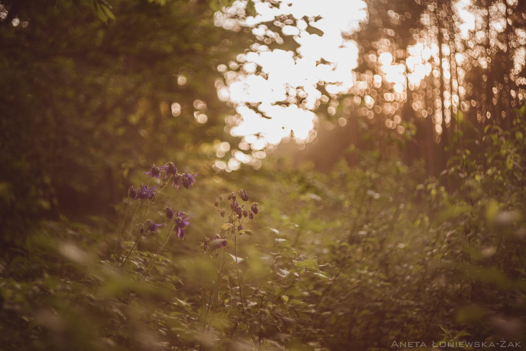 fotografia przyrodnicza, puszcza knyszyńska, orlik las
