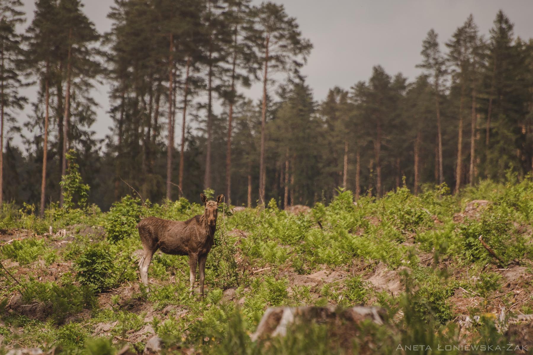 fotografia przyrodnicza, puszcza knyszyńska, łoś, las, kulikówka
