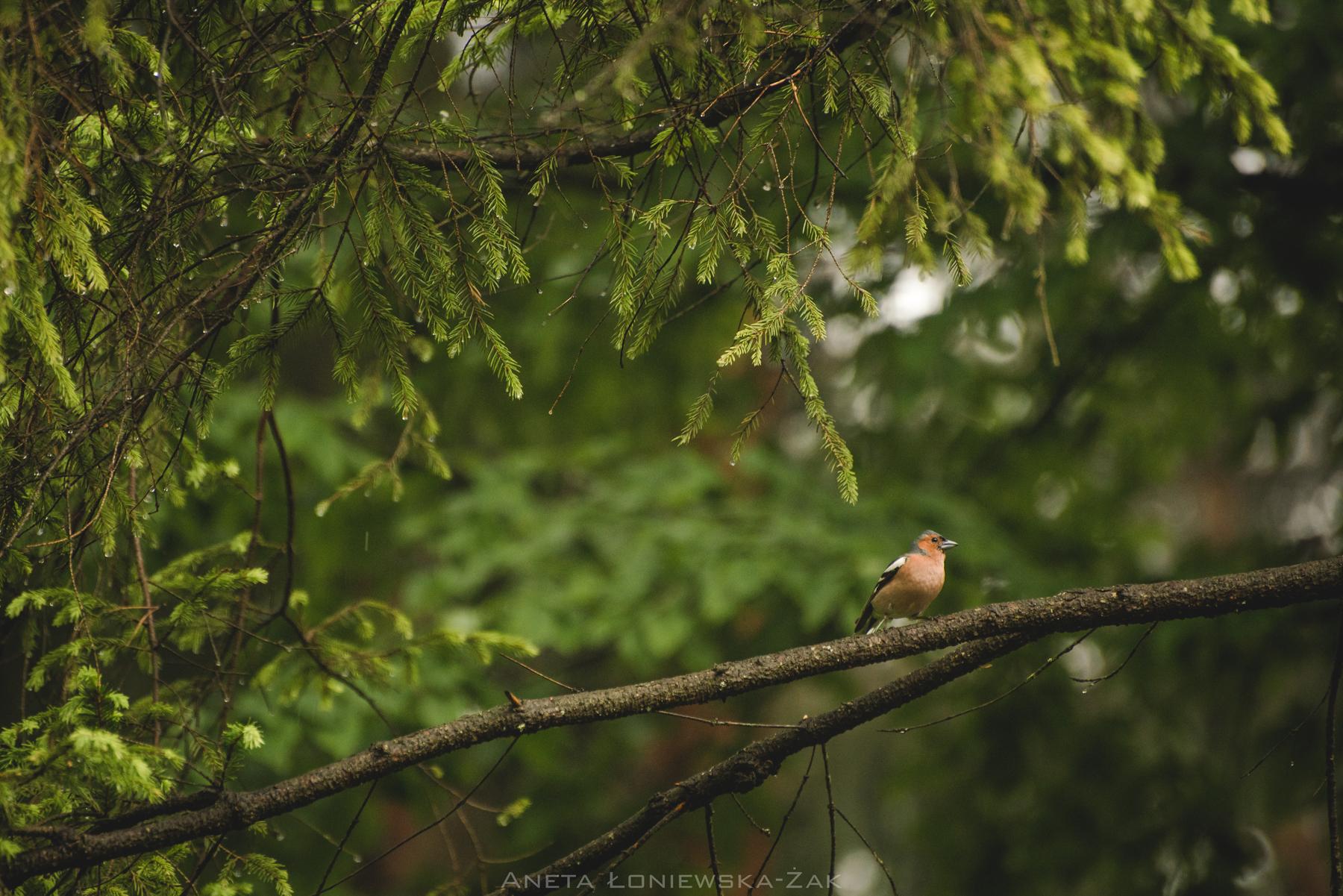 fotografia przyrodnicza, puszcza knyszyńska, zięba, las, świerk