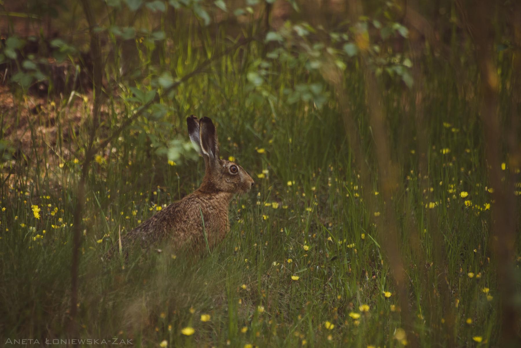 fotografia przyrodnicza, puszcza knyszyńska, zając