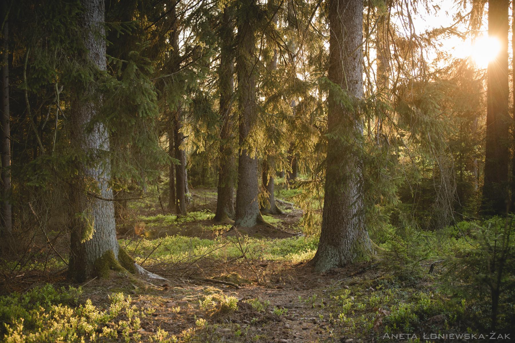fotografia przyrodnicza, puszcza knyszyńska, świerk, kulikówka, las