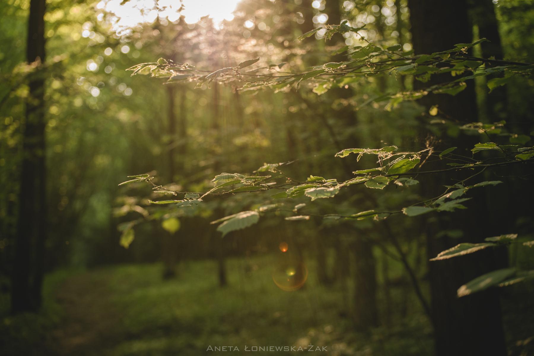 fotografia przyrodnicza, puszcza knyszyńska, leszczyna, las