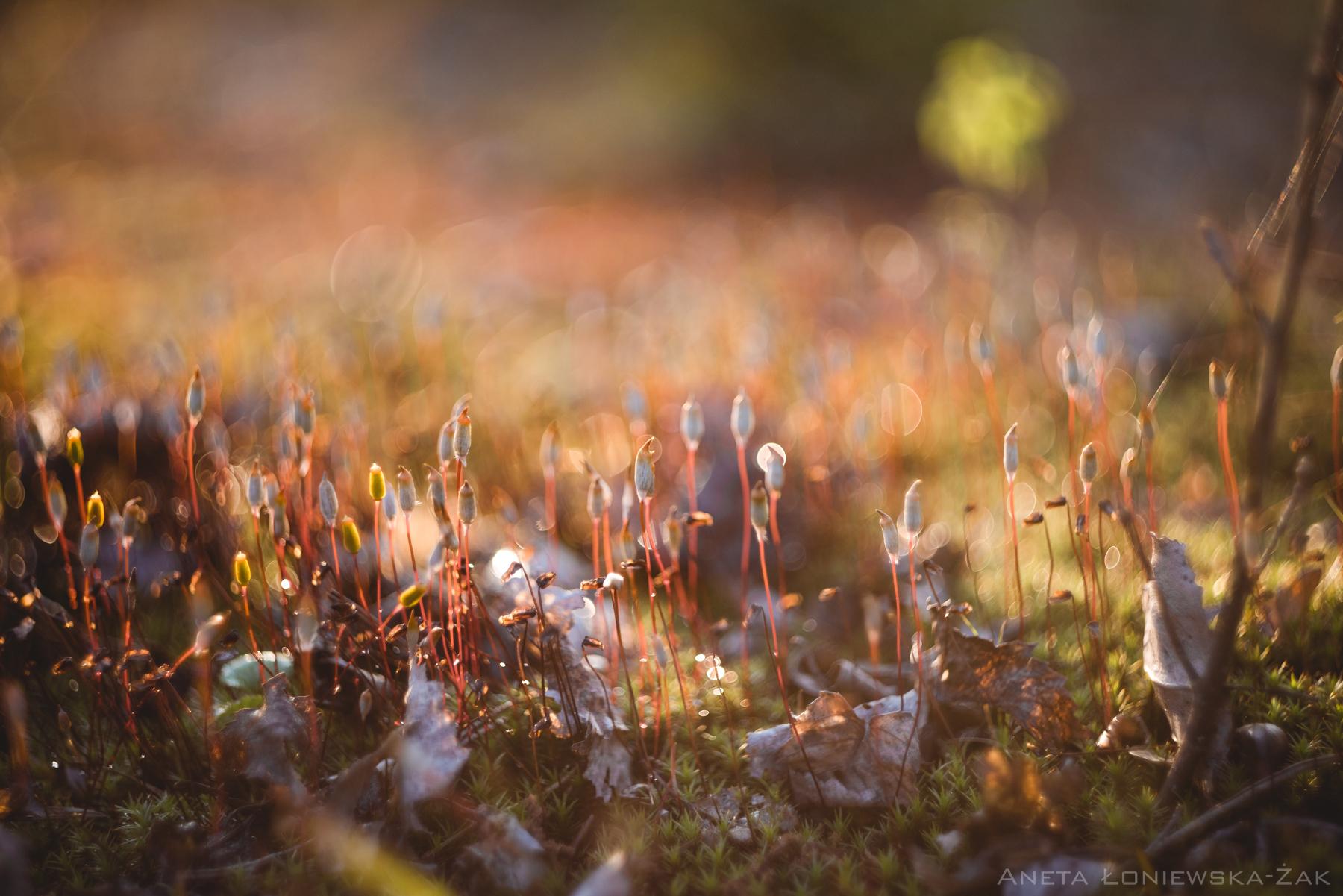 fotografia przyrodnicza, puszcza knyszyńska, mech