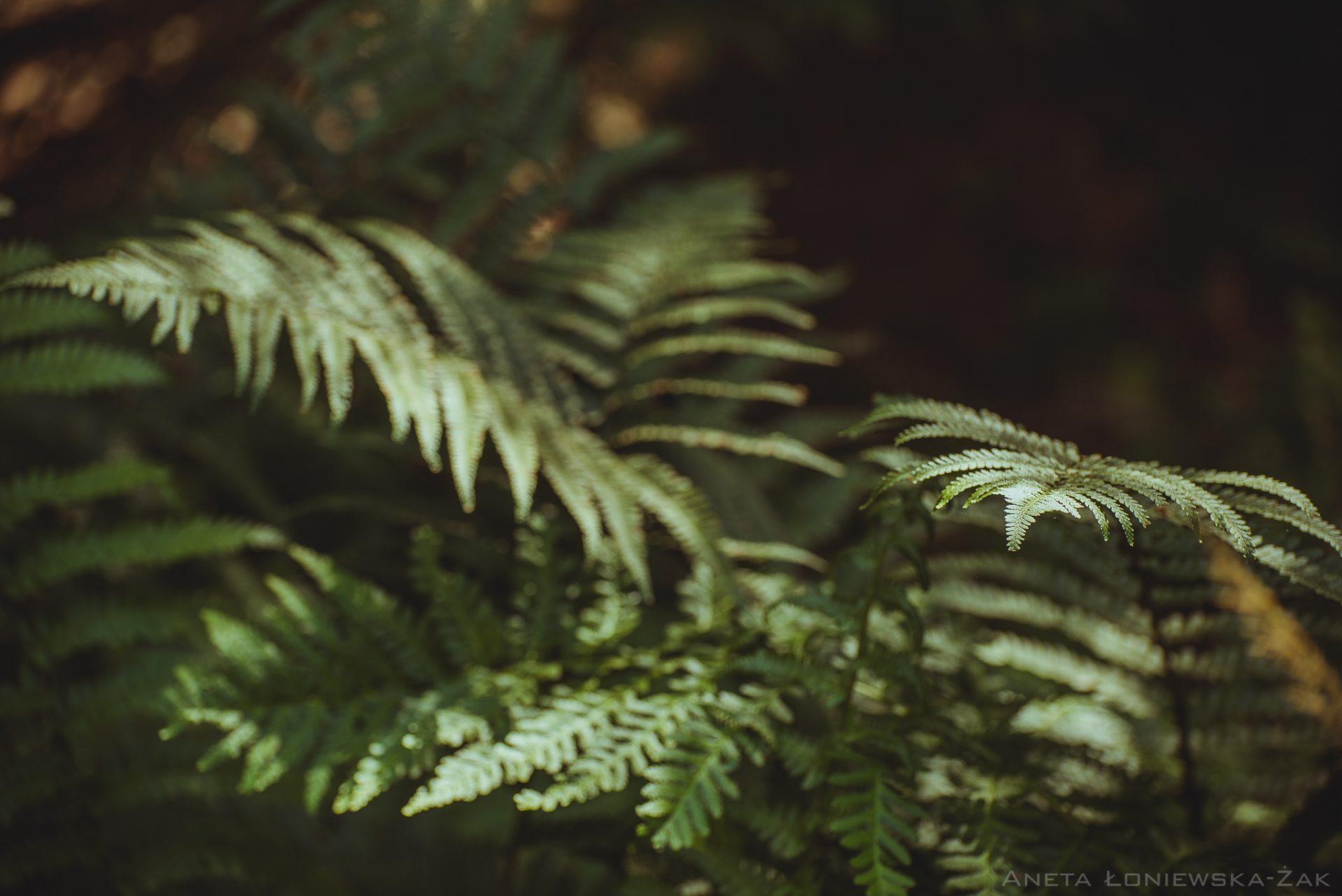 fotografia przyrodnicza, puszcza knyszyńska, podlasie lasy państwowe paproć fern