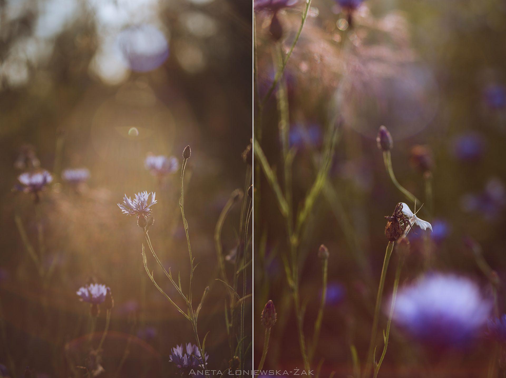 fotografia przyrodnicza, puszcza knyszyńska, podlasie chaber bławatek