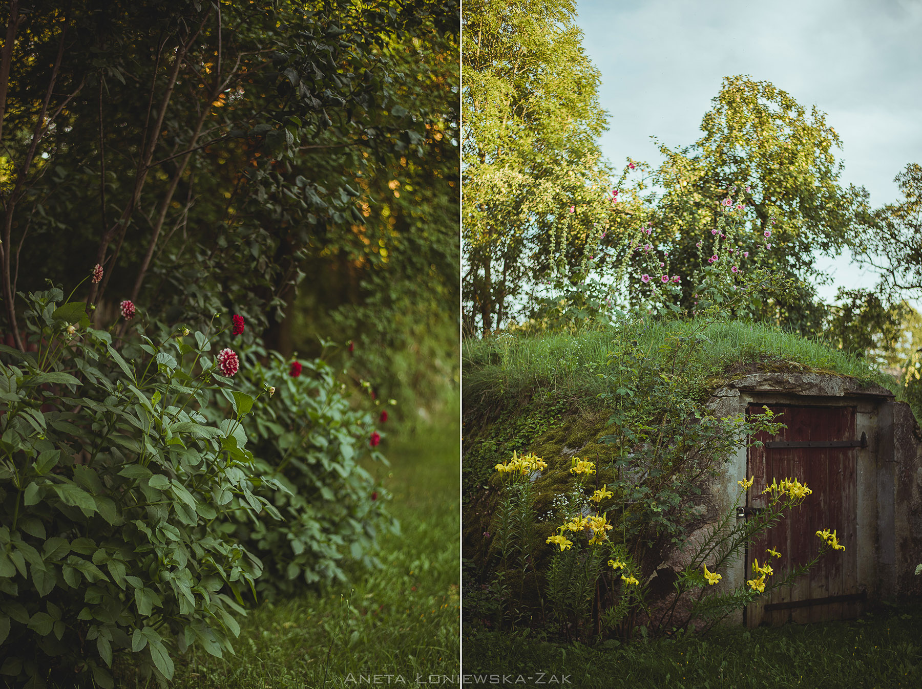 fotografia przyrodnicza, puszcza knyszyńska, podlasie, drewniany dom ganek malwy zamczysk dalie piwniaca ziemianka