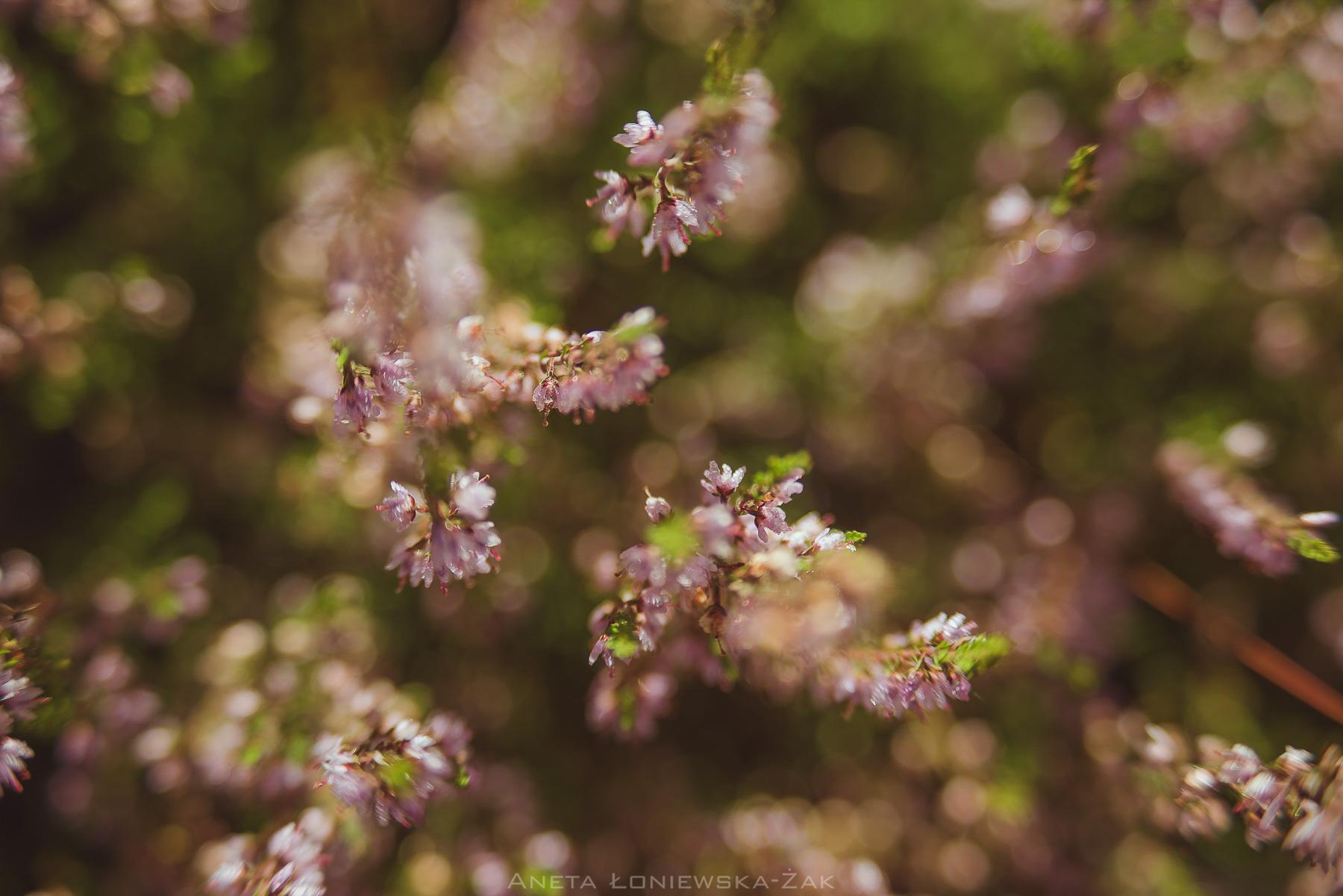 fotografia przyrodnicza, puszcza knyszyńska, podlasie, pkpk, wrzos pospolity calluna vulgaris