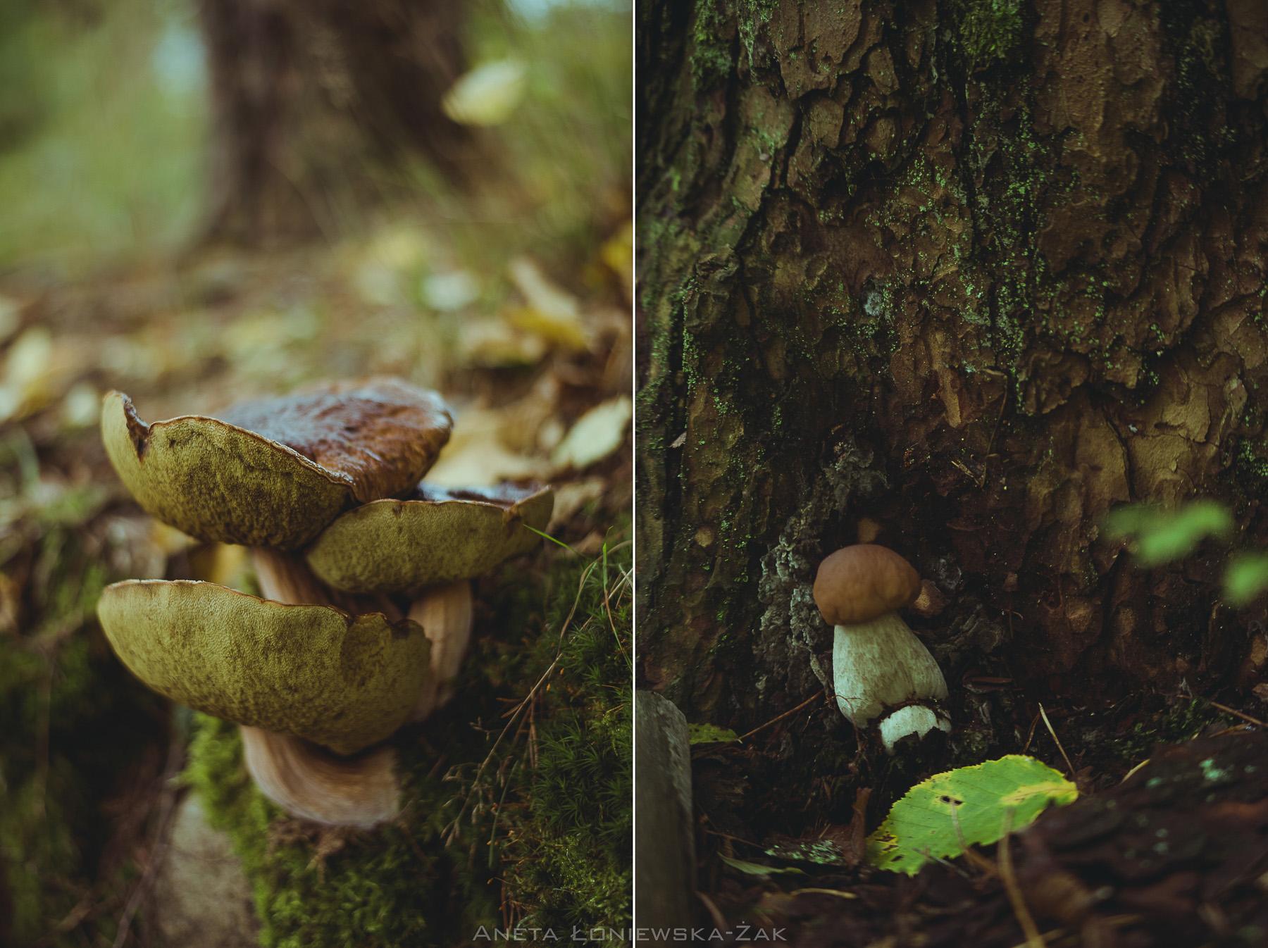 fotografia przyrodnicza, puszcza knyszyńska, podlasie, pkpk, borowik prawdziwek podlasie