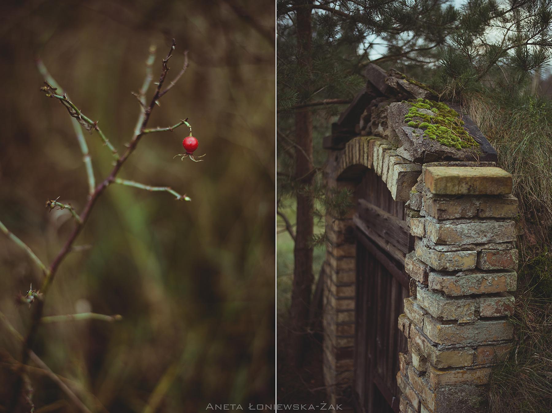 fotografia przyrodnicza, puszcza knyszyńska, podlasie, pkpk, piwnica ziemianka, stara cegła, dzika róża rosa canina