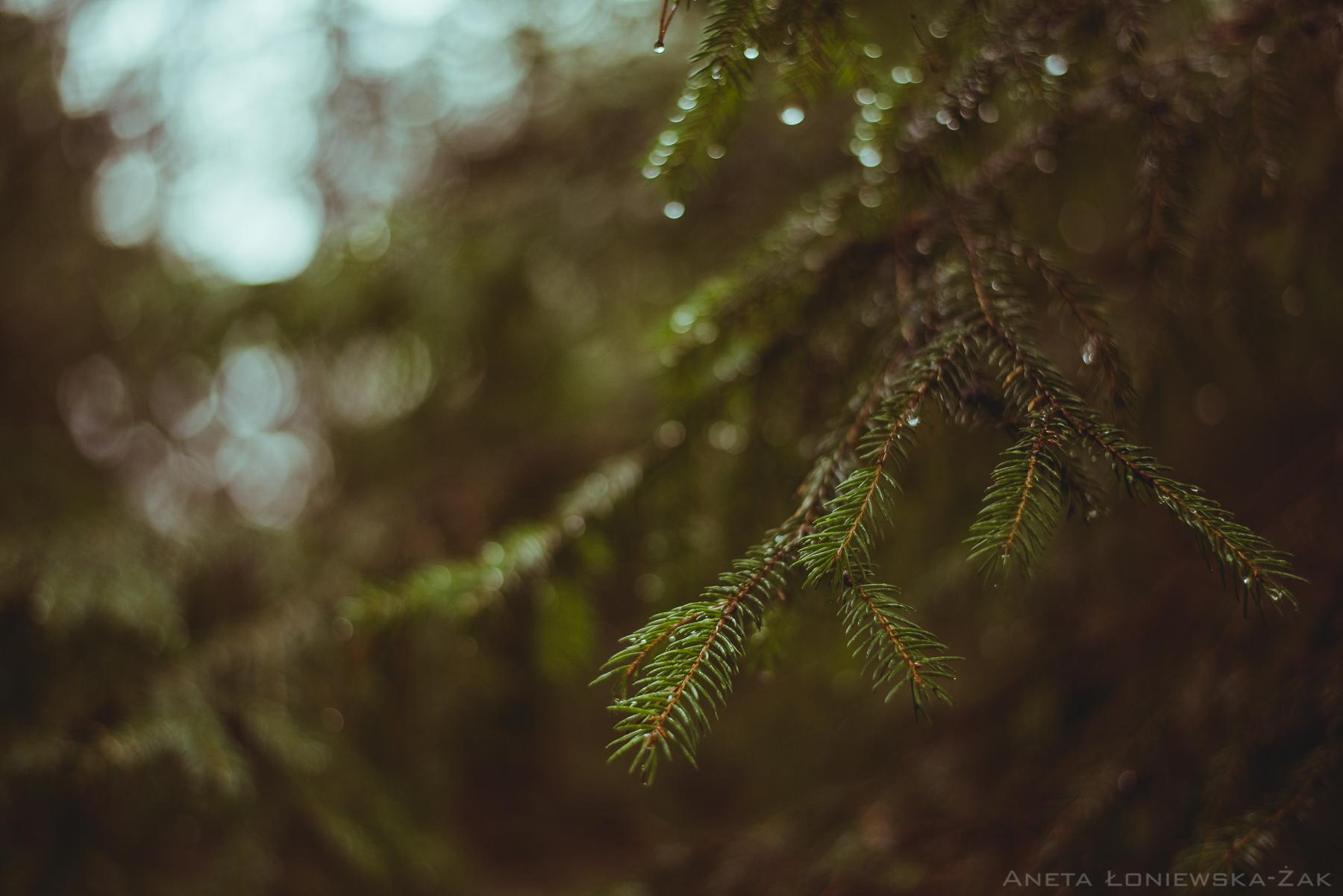 fotografia przyrodnicza, puszcza knyszyńska, podlasie, pkpk, nadleśnictwo dojlidy, świerk