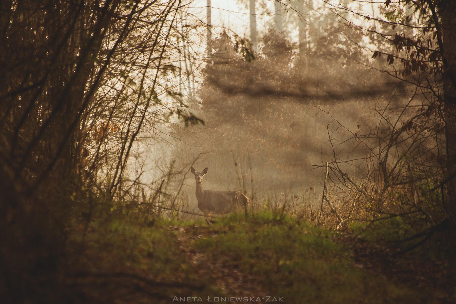 fotografia przyrodnicza, puszcza knyszyńska, podlasie, pkpk, jeleń szlachetny, łania