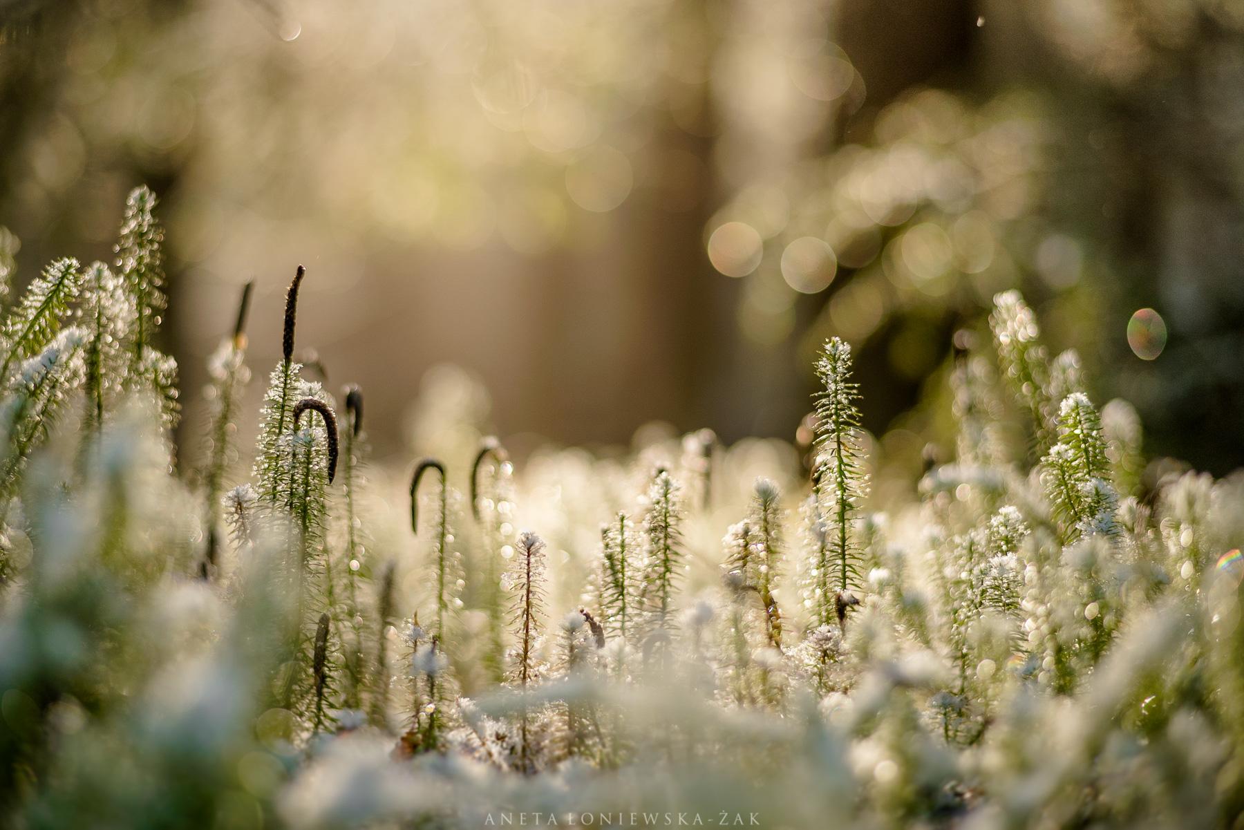 puszcza knyszyńska, Lycopodium annotinum, dzikie podlasie, aneta łoniewska-żak, widłak jałowcowaty