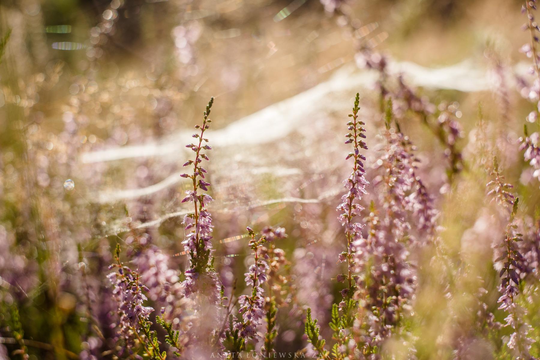 puszcza knyszyńska, Calluna vulgaris, dzikie podlasie, aneta łoniewska-żak, wrzos pospolity